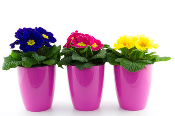 three floweringpots with primroses