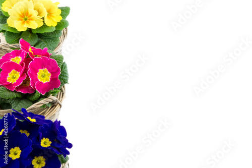 three multicolor primroses piled isolated