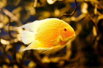 (Cichlasoma severum) - Cichlid fish in the aquarium