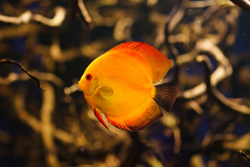Discus , freshwater fish from Amazon River