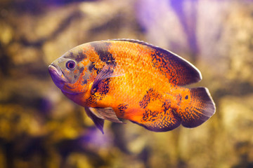Astronotus ocellatus (Tiger), big fresh-water fish