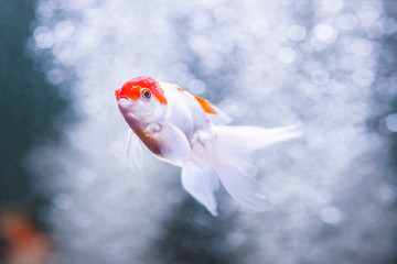 Goldfish oranda carp swimming underwater in fresh aquarium