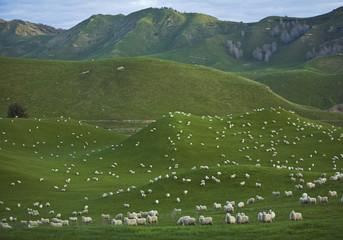 Neuseeland, Schaf-Herde auf Coromandel-Halbinsel