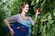 Deutschland, München, Seniorin Ernte Tomaten im Gewächshaus