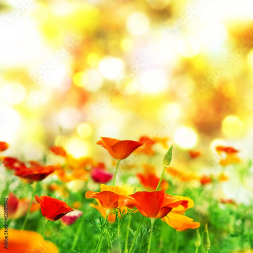 California poppy, golden poppy. Summer background.