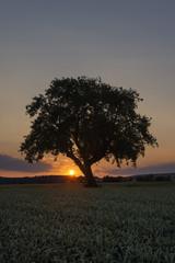 Deutschland, Baden Württemberg, Blick auf alte Baum bei Sonnenuntergang