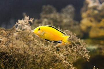 African Malawi Cichlid swimming underwater