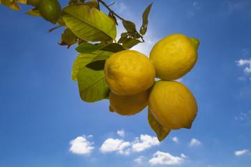 Spanien, Mallorca, Zitrone gegen den blauen Himmel
