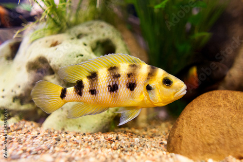 Exclusive cichlid swimming underwater in fresh aquarium