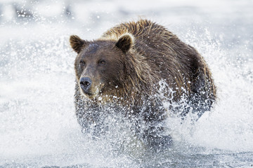 USA, Alaska,  Braunbär versucht, Lachs in Silver Salmon Creek fangen am Lake Clark Nationalpark und Reservat