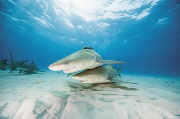 Bahamas, Zitronenhaie im Atlantik