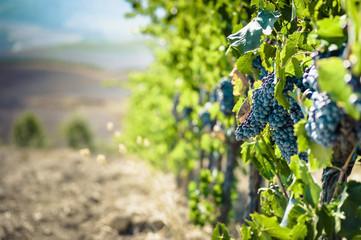 Italien, Toskana, San Quirico d'Orcia, blaue Trauben am Weinstock
