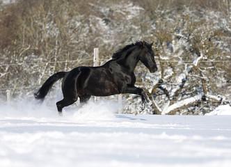 Deutschland, Baden Württemberg, Schwarzes Pferd läuft im Schnee