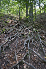 Tree roots up on the hill