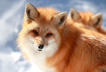 beau renard