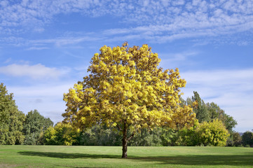 Yellow autumn tree in the park