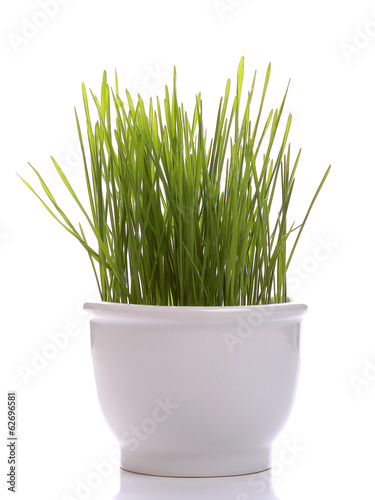 Seedling wheat in white porcelain cup isolated on white