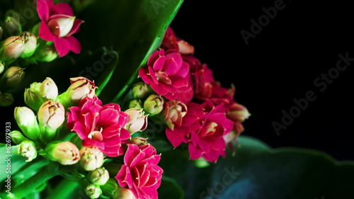 Time lapse opening of kalanchoe flower