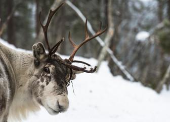 Reindeer standing in the snow © beataaldridge