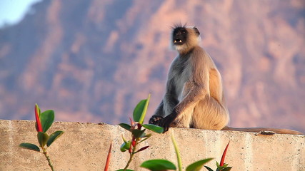 The monkey langur sits on a fence 1. Mumbai. India - March 2013.