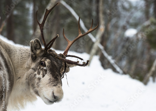 Foto op Plexiglas Scandinavië Reindeer standing in the snow