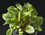 Blutampfer; Rumex, sanguineus; Salat;