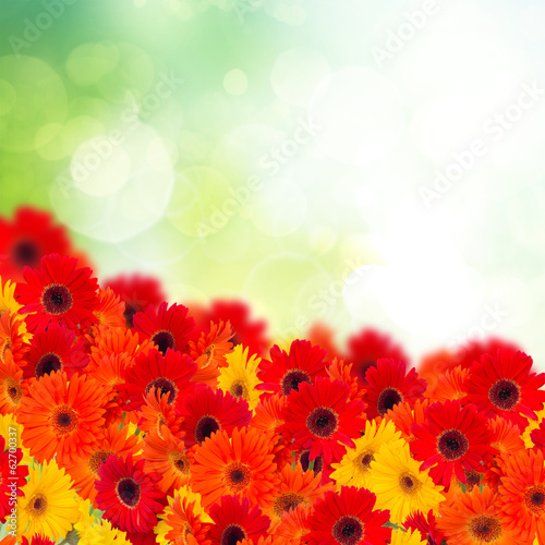 gerbera flowers in garden