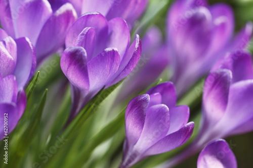 Staande foto Krokussen krokusse in lila