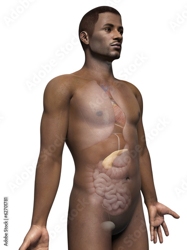 anatomy of an african american man - pancreas