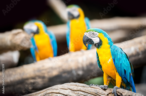 Group of macaw