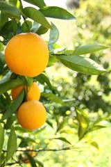Ramo di arance mature e succose