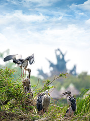 Family of marabou stork