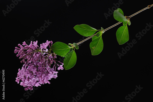 Redbud branch with leaves in spring season