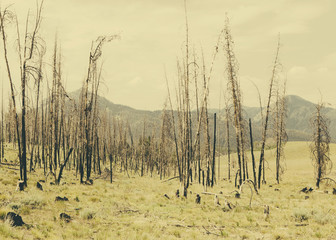 Fire Damaged Trees And Forest In Payette National Forest In Valley County, Indiana.