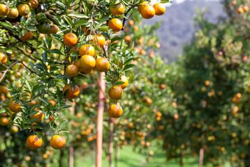 fresh orange on plant, orange tree