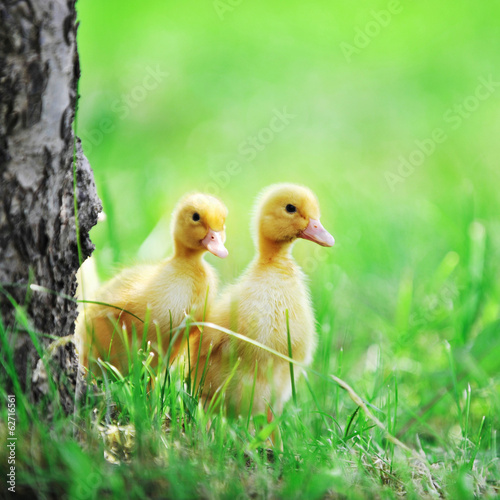 two fluffy chicks