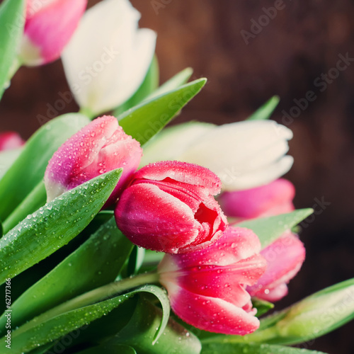 Fresh Spring Tulips with Water drops, toned