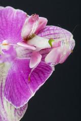 Orchid mantis / Hymenopus coronatus