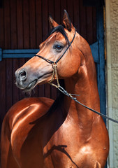 portrait of beautiful bay  arabian stallion
