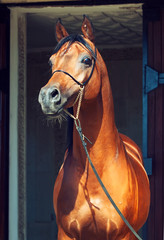 portrait of wonderful bay  arabian stallion