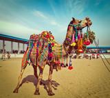 Camel at Pushkar Mela, Rajasthan, India