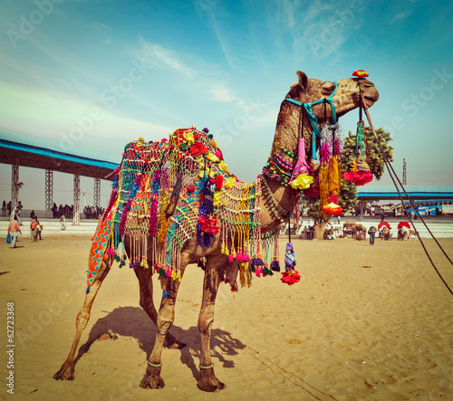 In de dag Kameel Camel at Pushkar Mela, Rajasthan, India