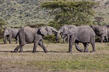 Afrika, Kenia, afrikanischen Elefanten kämpfen in der Masai Mara National Park
