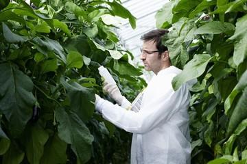 Deutschland, München, Wissenschaftler im Gewächshaus untersucht Auberginenpflanzen