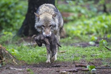 Deutschland, Bayern, Grauer Wolf ist ihr Welpe Trage