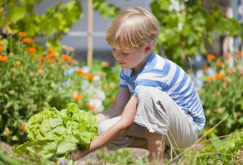 Deutschland, Bayern, Junge pflücken Salat im Garten