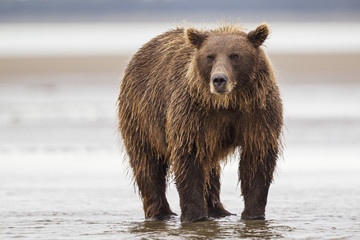 USA, Alaska, Braunbär in Silver Salmon Creek in Lake Clark Nationalpark und Reservat