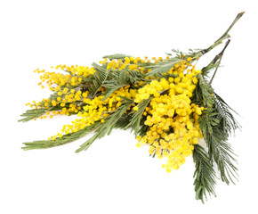 Twigs of mimosa flowers isolated on white