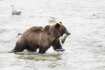 USA, Alasaka, Braunbär im Chilkoot See mit gefangenem Lachs