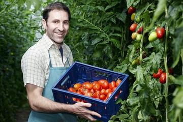 Deutschland, München, Mann Ernte Tomaten im Gewächshaus
